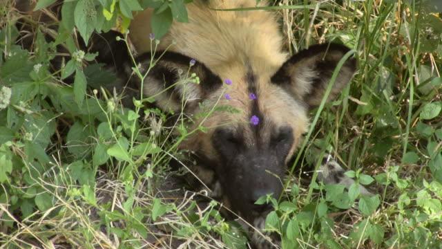 CU, African Wild Dog (Lycaon pictus) lying in grass, Botswana