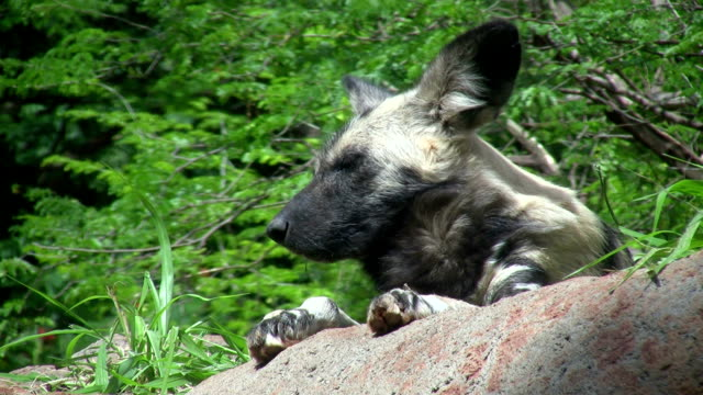 CU African Wild Dog (Lycaon pictus) napping on rock, Honolulu Zoo, Hawaii, USA