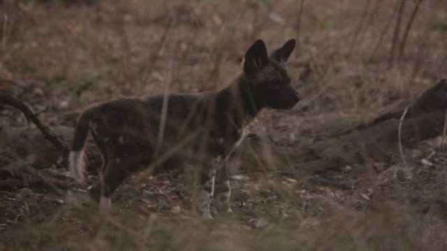 """vidéos et rushes de african wild dog (lycaon pictus) pup among trees, zambia - """"bbc natural history"""""""