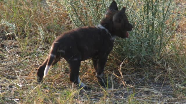 ms pan african wild dog pup bites plant then moves off with second pup - kleine gruppe von tieren stock-videos und b-roll-filmmaterial