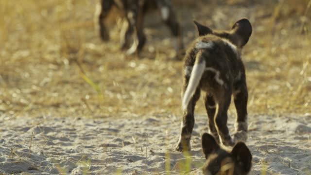 ms african wild dog pup looking around at den then walks off - kleine gruppe von tieren stock-videos und b-roll-filmmaterial