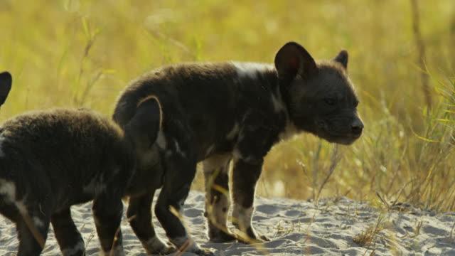 ms pan african wild dog pup looking nervously out from den - kleine gruppe von tieren stock-videos und b-roll-filmmaterial
