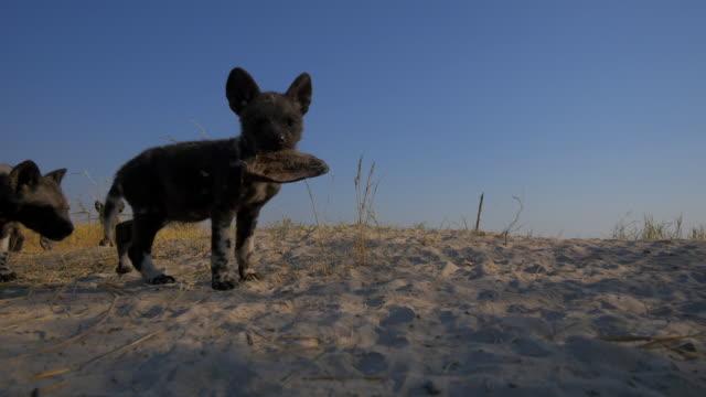 la african wild dog pup walks close to camera carrying ear of prey in its mouth - kleine gruppe von tieren stock-videos und b-roll-filmmaterial