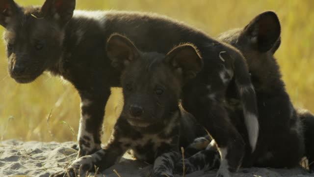 cu african wild dog pups climb on each other by den - kleine gruppe von tieren stock-videos und b-roll-filmmaterial