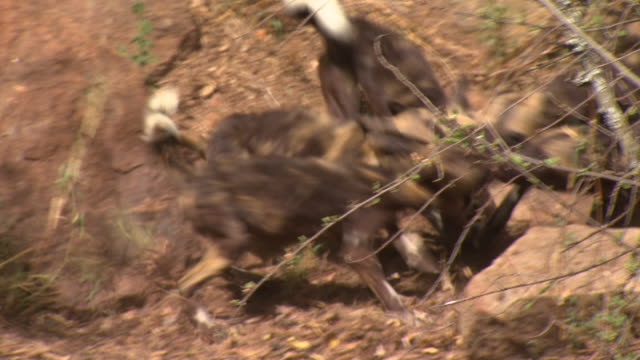 African Wild Dog (Lycaon pictus) pups fight over prey; with audio, Kenya