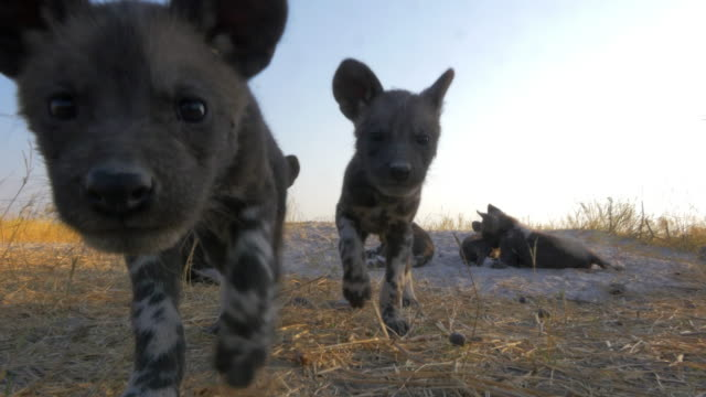 la 2 african wild dog pups look into lens - medium group of animals stock videos & royalty-free footage