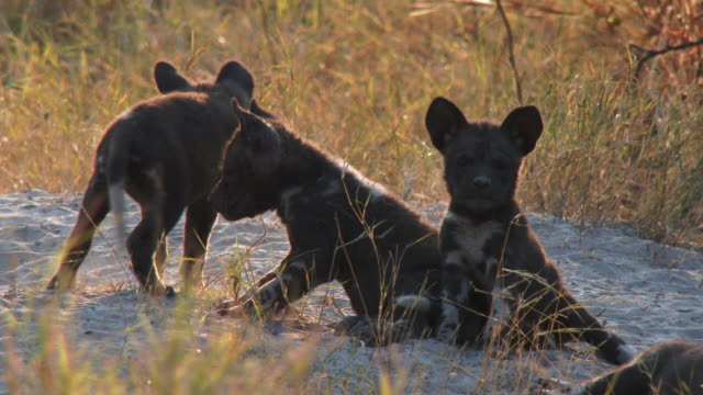 vidéos et rushes de ms african wild dog pups looking at camera and around at den - quatre animaux