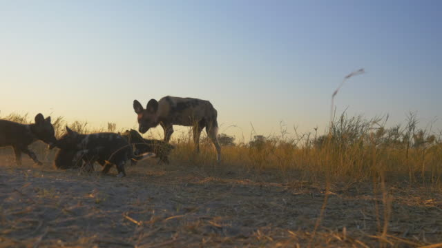 la african wild dog pups play with adult in evening light - medium group of animals stock videos & royalty-free footage