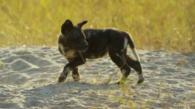 ms pan african wild dog pups run up to greet adult - medium group of animals stock videos & royalty-free footage