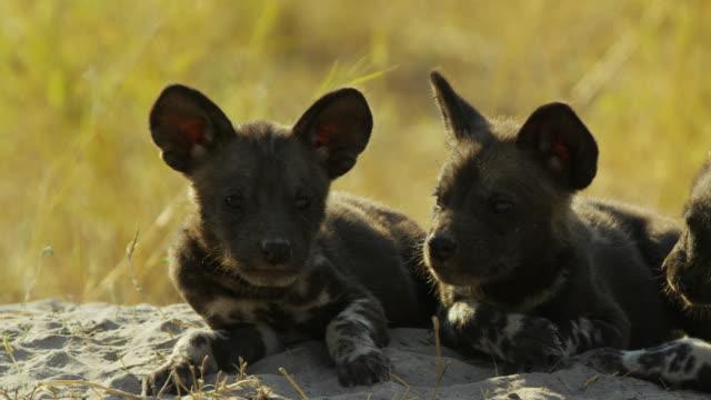 cu african wild dog pups sit together by den - kleine gruppe von tieren stock-videos und b-roll-filmmaterial