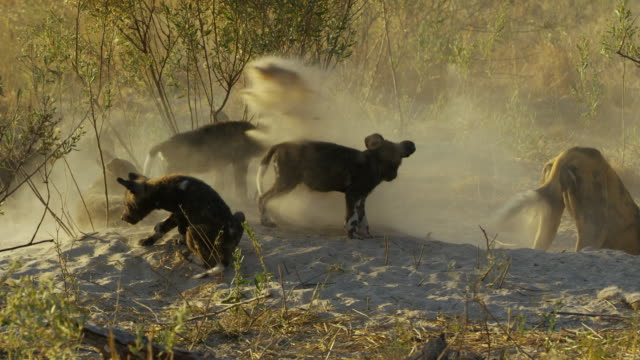 african wild dog pups watching adult digging with one getting covered in sand comically - tierisches verhalten stock-videos und b-roll-filmmaterial