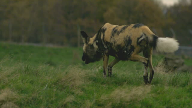 SLO MO African wild dog (Lycaon pictus) runs towards camera, UK