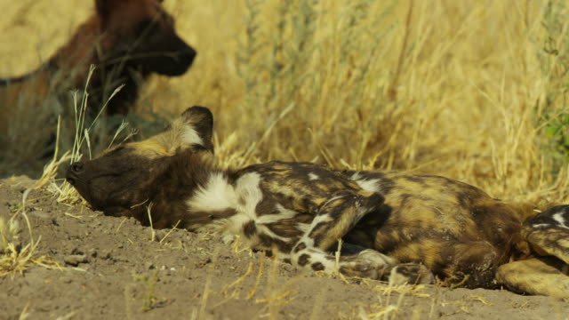 ms african wild dog sleeping  at den looks around then rolls over - sleeping stock videos & royalty-free footage