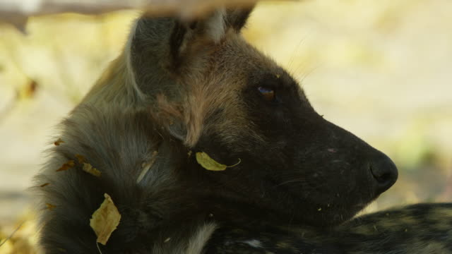 cu african wild dog sleeping by den then looking around - auf dem rücken liegen stock-videos und b-roll-filmmaterial