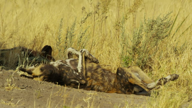 ms african wild dog sleeping on its back at den and twitching or dreaming - lying on back stock videos & royalty-free footage