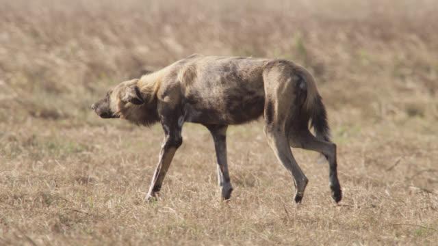 African wild dog (Lycaon pictus) stalks prey on savannah, Zambia