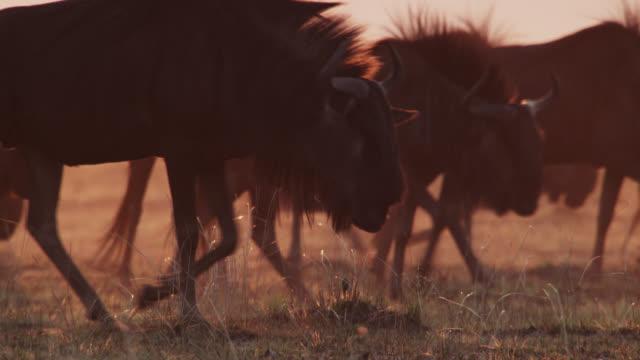 African wild dog (Lycaon pictus) stalks wildebeest (Connochaetes taurinus) on savannah at sunset, Zambia
