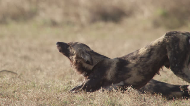 African wild dog (Lycaon pictus) stretches and walks away on savannah, Zambia