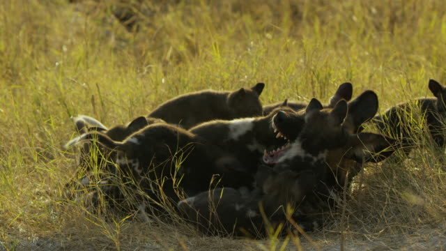 ms african wild dog submerged under dense group of pups - medium group of animals stock videos & royalty-free footage