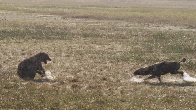African wild dog (Lycaon pictus) threatens hyaena (Crocuta crocuta), Zambia