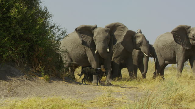 african wild dog trots away from threatening herd of elephants - elephant stock videos & royalty-free footage