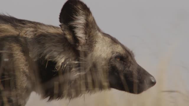 "vidéos et rushes de african wild dog (lycaon pictus) walks on savannah, zambia - ""bbc natural history"""