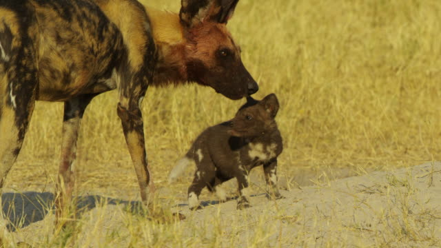 cu african wild dog with bloody fur grooms pup at den - animal hair video stock e b–roll