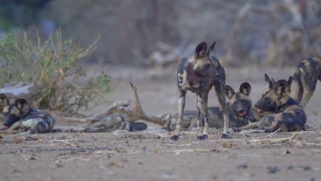 vidéos et rushes de african wild dogor painted wolf (lycaon pictus) zimbabwe - animaux à l'état sauvage
