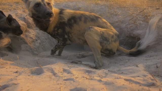 african wild dogs and pups greet excitedly at mouth of den - kleine gruppe von tieren stock-videos und b-roll-filmmaterial