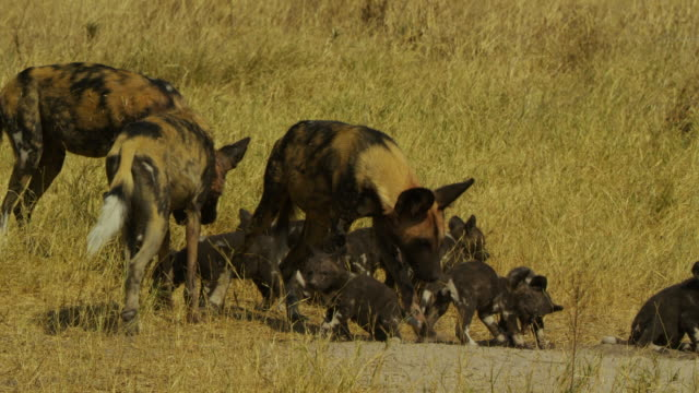 african wild dogs at den surrounded by eating pups - group of animals stock videos & royalty-free footage