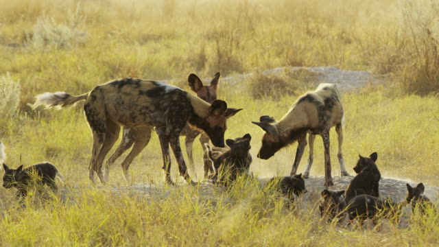 african wild dogs at den surrounded by pups play fighting - group of animals stock videos & royalty-free footage