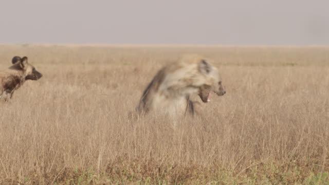 African wild dogs (Lycaon pictus) attack hyaena (Crocuta crocuta), Zambia