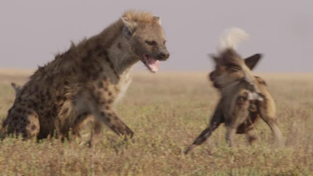 African wild dogs (Lycaon pictus) attack hyaenas (Crocuta crocuta), Zambia