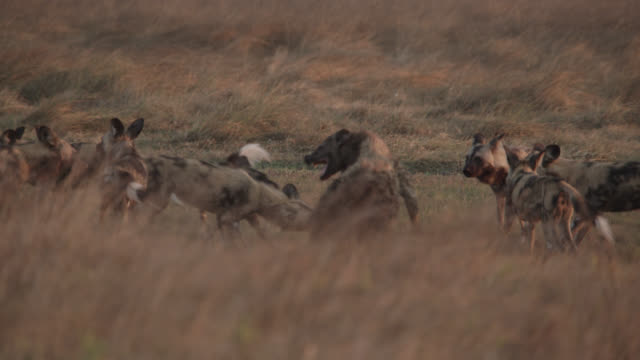 vídeos de stock, filmes e b-roll de african wild dogs (lycaon pictus) attack spotted hyaena on savannah, zambia - áfrica meridional