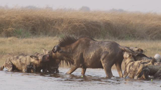 african wild dogs (lycaon pictus) attack wildebeest (connochaetes taurinus) prey, zambia - killing stock videos & royalty-free footage