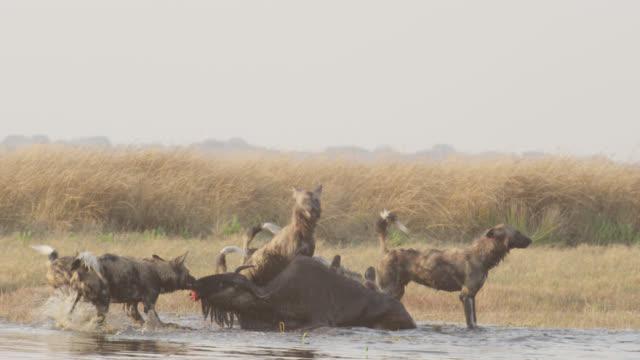 African wild dogs (Lycaon pictus) attack wildebeest (Connochaetes taurinus) prey, Zambia