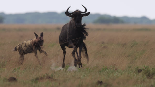 african wild dogs (lycaon pictus) chase pronking wildebeest, zambia - herbivorous stock videos & royalty-free footage
