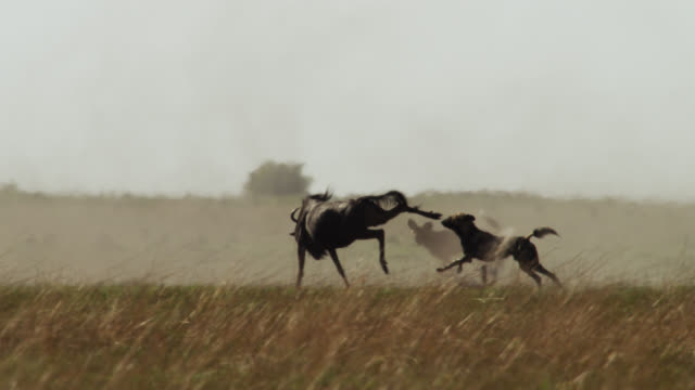 african wild dogs (lycaon pictus) chase wildebeest on savannah, zambia - pursuit concept video stock e b–roll