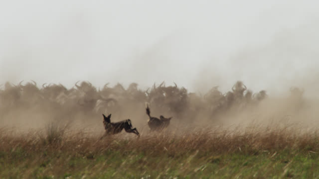 African wild dogs (Lycaon pictus) chase wildebeest on savannah, Zambia