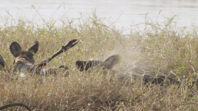 african wild dogs (lycaon pictus) drag lechwe antelope prey to river bank, zambia - medium group of animals stock videos & royalty-free footage