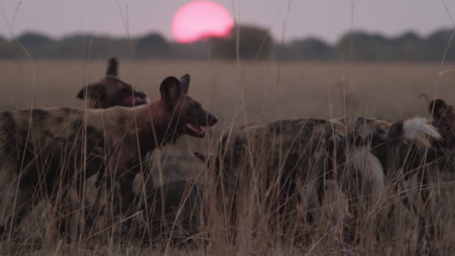 African wild dogs (Lycaon pictus) feed on wildebeest (Connochaetes taurinus) prey at sunset, Zambia