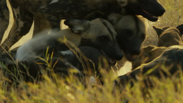 cu pan african wild dogs greeting by den - medium group of animals stock videos & royalty-free footage