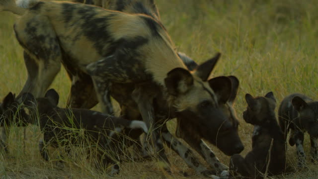 ms african wild dogs greeting pups - medium group of animals stock videos & royalty-free footage