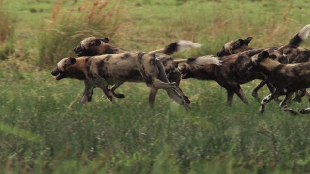 vídeos y material grabado en eventos de stock de african wild dogs (lycaon pictus) run through marsh, zambia - grupo de animales