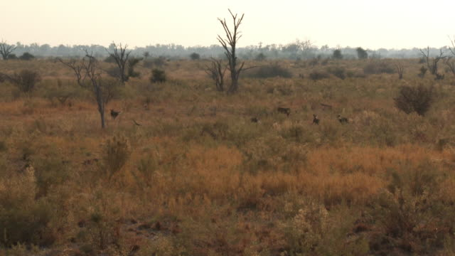 ha african wild dogs run to mob african lioness walking in scrub - group of animals stock videos & royalty-free footage