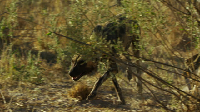 ms pan african wild dogs rushing in to den to greet pups - group of animals stock videos & royalty-free footage
