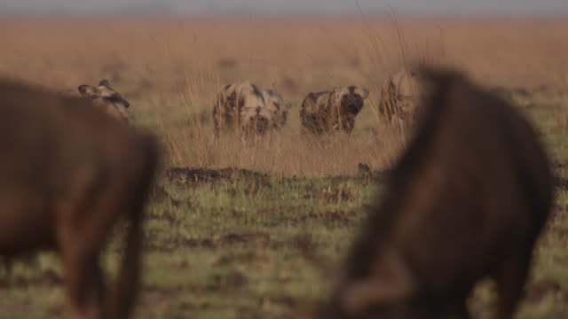 african wild dogs (lycaon pictus) stalk wildebeest prey on savannah, zambia - grazing stock videos & royalty-free footage