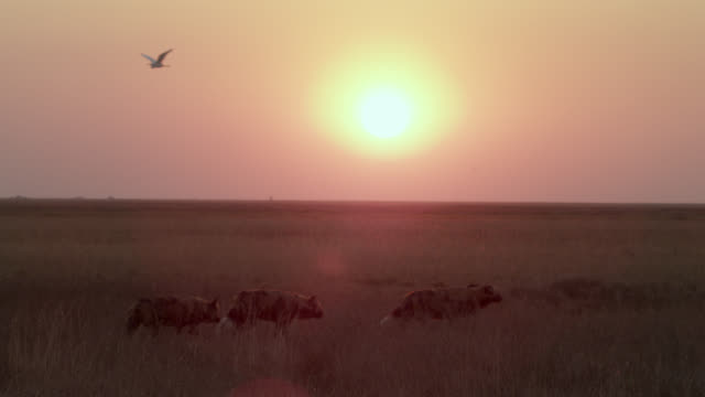 african wild dogs (lycaon pictus) walk on savannah at sunset, zambia - egret stock videos & royalty-free footage