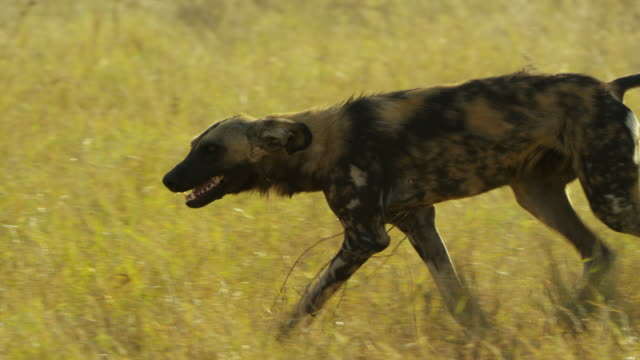vidéos et rushes de cu pan african wild dogs walking in and greeting in long grass - quatre animaux