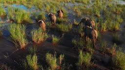 African Wild Elephant Herd in Wilderness